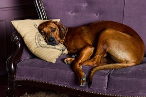 Rhodesian Ridgeback sleeping wiyh its head on a pillow