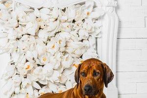 Elegant Rhodesian Ridgeback dog in front of stylized flower fireplace