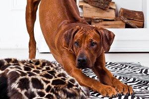 Rhodesian Ridgeback dog bending