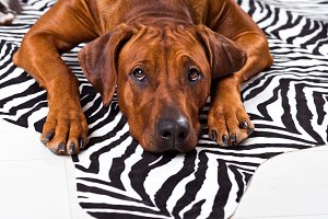 Rhodesian Ridgeback dog lying on a zebra carpet