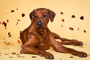 Rhodesian Ridgeback dog strewed with paper hearts confetti