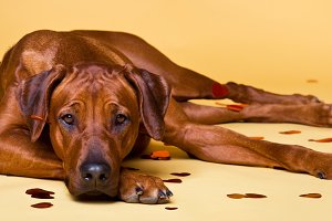 Rhodesian Ridgeback dog strewed with paper hearts confetti