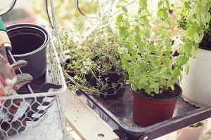 Herb garden thyme and oregano