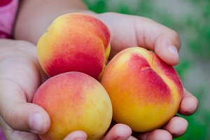 Ripe apricots in children hands. Selective focus