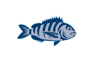 Sheepshead Fish Isolated Retro