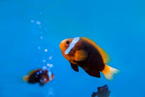 anemonefish underwater in water