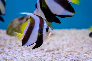 Fish of Schooling Bannerfish