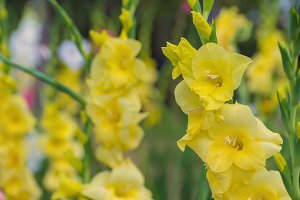 colorful Gladiolus flowers