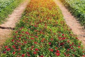 Watercress flower