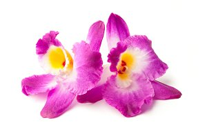 Pink Dendrobium orchids isolated