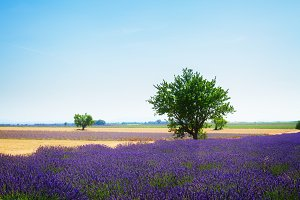 Lavender field and tree