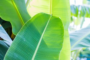 Banana leaf in nature