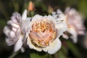 English Rose with Blur