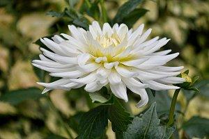 white natural dahlia