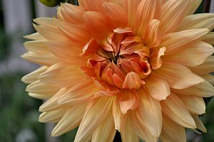natural dahlia foreground