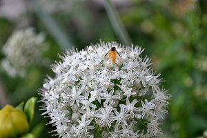 leek flower and orange insect