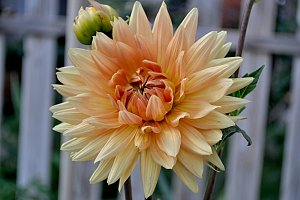 elegant dahlia in the garden