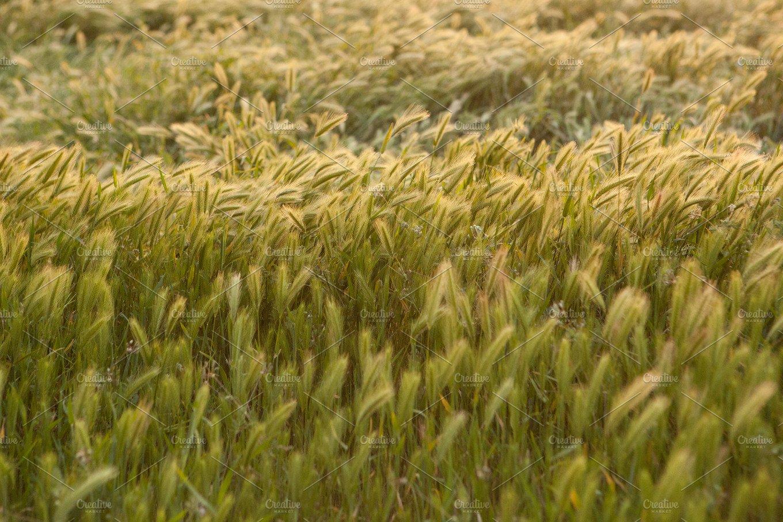 Wild California Rye Grass Horizontal Nature Photos