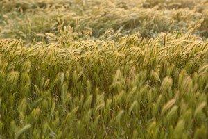 Wild California Rye Grass Horizontal