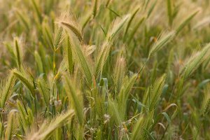 Wild California Rye Grass Vertical