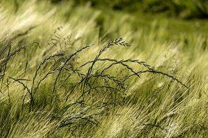 Grass Heads in Barley Field