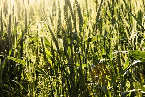 Backlit Young Wheat