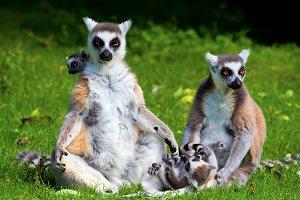 Lemur Catta Family
