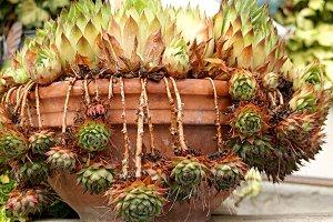 succulents in a clay pot