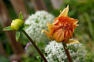 natural dahlia and blossom
