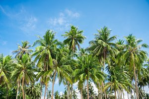 coconut palm trees