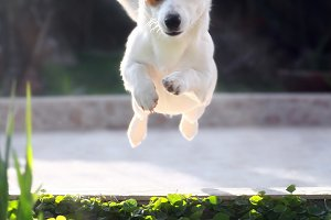 Juping Jack Russell dog