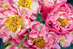 peonie flowers close up