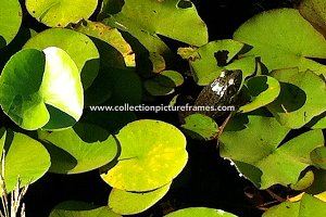 Frog on water lilly