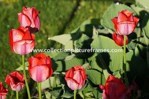 Rep tulips in the garden