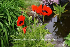 Red poppies by the pond