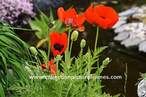 Red poppies by the water