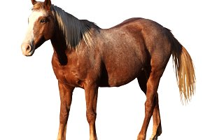 Isolated Picture of Horse Standing