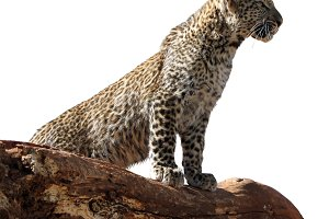 Isolated Young Leopard on Branch