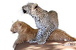Unique Young Leopard Siblings