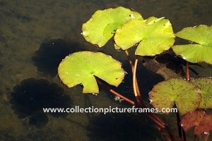 Water lilly in the sun - Nenuphar