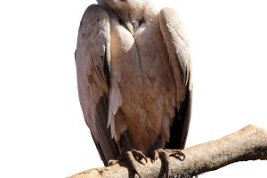 Isolated Large Vulture on Branch