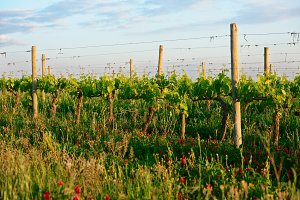 Organic vineyard in Tuscany