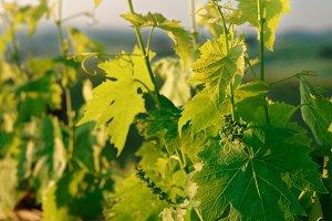 Sangiovese vines in Tuscany