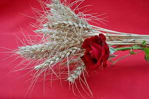 red rose and barley ears