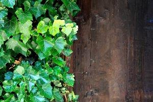 Ivy growing on old doors