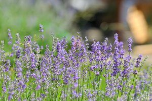 Purple violet lavender flowers
