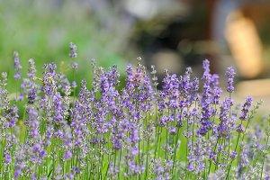 Purple violet lavender flowers