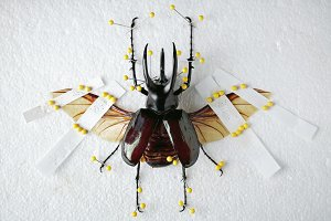 Pinned Beetle