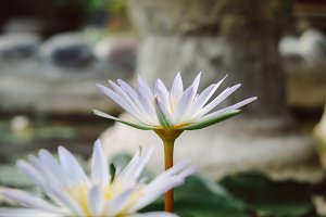 Close up view of white lotus flower blooming in a pond