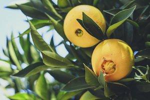 Oranges in the tree